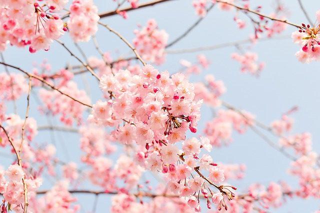 お花見 始まり